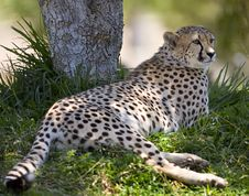 Free Cheetah Royalty Free Stock Photos - 3609978
