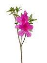 Free Pink Azalea Stock Image - 36002921
