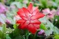 Free Christmas Cactus &x28;schlumbergera&x29; Stock Images - 36002964