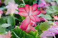 Free Christmas Cactus &x28;schlumbergera&x29; Stock Photography - 36002972