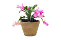 Free Christmas Cactus &x28;schlumbergera&x29; Royalty Free Stock Photos - 36003008
