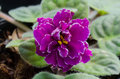 Free African Violet Royalty Free Stock Photo - 36003025