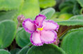 Free African Violet Royalty Free Stock Images - 36003039