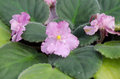 Free African Violet Royalty Free Stock Photography - 36003057