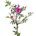 Free Azalea Tree Royalty Free Stock Image - 36003086
