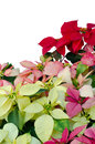 Free Christmas Or Poinsettia Royalty Free Stock Image - 36003116