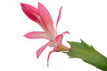 Free Christmas Cactus &x28;schlumbergera&x29; Stock Images - 36003134