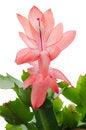 Free Christmas Cactus &x28;schlumbergera&x29; Stock Photo - 36003140