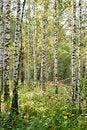 Free Birchs. Royalty Free Stock Photography - 36005837