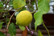 Free Lemon Tree Stock Photo - 36000380