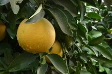 Free Grapefruits Tree Stock Photo - 36000440