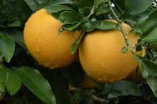 Free Grapefruits Tree Stock Photos - 36000933