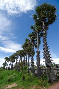 Rows Of Palm Trees Royalty Free Stock Photos