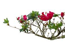 Free Red Azalea Royalty Free Stock Images - 36002909