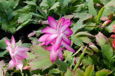 Free Christmas Cactus &x28;schlumbergera&x29; Royalty Free Stock Image - 36002936