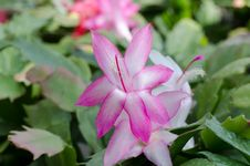 Free Christmas Cactus &x28;schlumbergera&x29; Royalty Free Stock Photography - 36002947