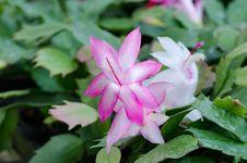 Free Christmas Cactus &x28;schlumbergera&x29; Stock Image - 36002951