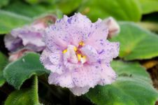 Free African Violet Royalty Free Stock Images - 36003029