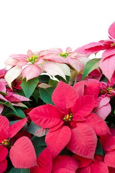 Free Christmas Or Poinsettia Royalty Free Stock Photos - 36003108