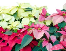 Free Christmas Or Poinsettia Royalty Free Stock Images - 36003139