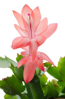 Free Christmas Cactus &x28;schlumbergera&x29; Stock Photo - 36003140