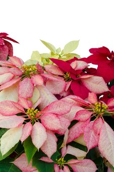 Free Christmas Or Poinsettia Royalty Free Stock Photo - 36003145