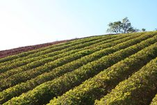 Tea Tree Stock Photo