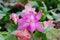 Free Christmas Cactus &x28;schlumbergera&x29; Royalty Free Stock Photos - 36002988
