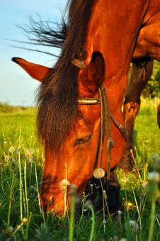 Free Horse Munching Grass Royalty Free Stock Images - 36018349