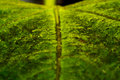 Free Leaf Macro Stock Photography - 36027812