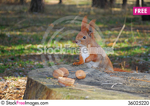 Free Squirrel Sitting On A Stump Is Eating A Nut Stock Photo - 36025220