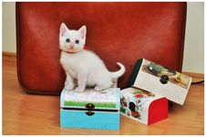 Free White Cat Royalty Free Stock Photos - 36022698