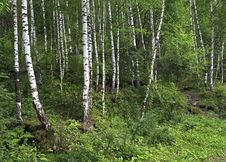 Wet Mixed Forest On The Hillside Sinyuha. Royalty Free Stock Images