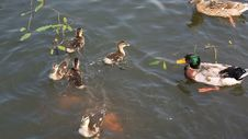 Free Duck With Ducklings Swimming In The Pond Stock Photography - 36028192