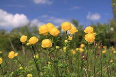 Free Globeflower Royalty Free Stock Photos - 36033798