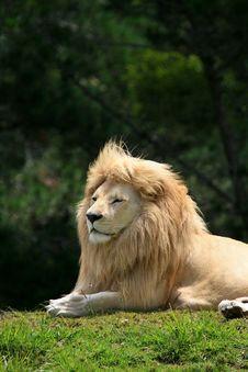 Free White Lion Portrait Stock Photos - 36037263
