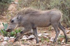 Free Juvenile Warthog Royalty Free Stock Photo - 36037355