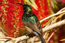 Free Bright Green Sunbird Royalty Free Stock Images - 36037379
