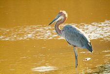 Free Goliath Heron Stock Photos - 36037673