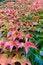 Free Autumn Grape Ivy Plant Stock Images - 36038844