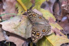 Lemon Pansy Butterfly Stock Image