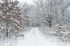 Free Lane Through Forest,winter. Stock Photography - 36049842