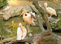 Free Pelicans In A Zoo Royalty Free Stock Photos - 36050438