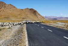 Free Sheep Crossing The Road Royalty Free Stock Photos - 36054888