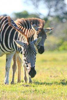 Zebra Pair Royalty Free Stock Photos