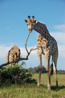 Free Giraffe Scratching Royalty Free Stock Photos - 36057368