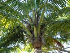 Free Coco Palm Royalty Free Stock Images - 36057379