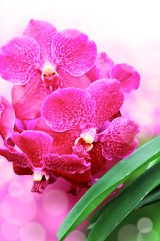 Free Closeup Pink Orchids Flower Stock Photo - 36057430