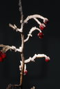 Free White Frost Twig Royalty Free Stock Photography - 36068527