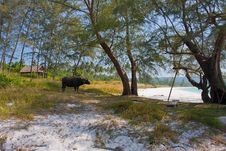 Free Cambodian Beach With Animal Stock Images - 36060094